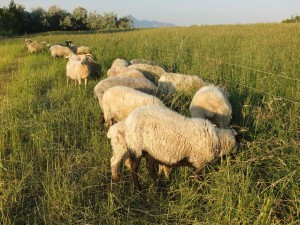 Comp 06Jun2015BSheep 271 Stripgraze