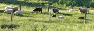 SheepPastureb