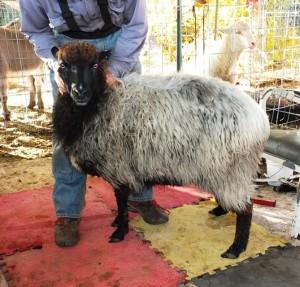 Daphne, a mature ewe