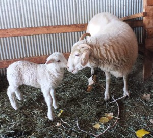 Comp Onna Lamb 10Oct2015CSheep 50