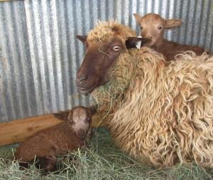 Dusky Chloe and her ewe and ram lambs from Malcom