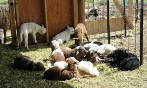 A pile of Lambs!