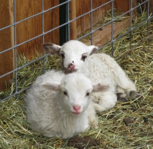 Ewe lambs from Lucky Uno and Malcom.