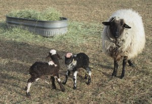 Onyx and her ram and ewe lambs from Malcom.