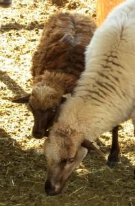 Comp Canyon Ewe Lamb