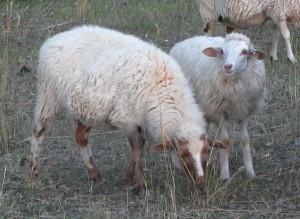 Comp Sandstone Ewe Lamb