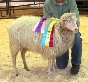 ArS Snowy took Best of Show at the 2016 N-CSA Annual Sheep Show
