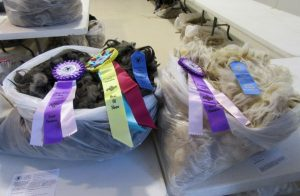 ArS Smokey Blue took Best of Show for her fleece in the 2016 N-CSA Annual Wool Show