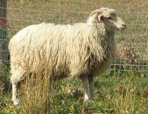 ArS Pretty Girl, 7 month old ewe lamb.
