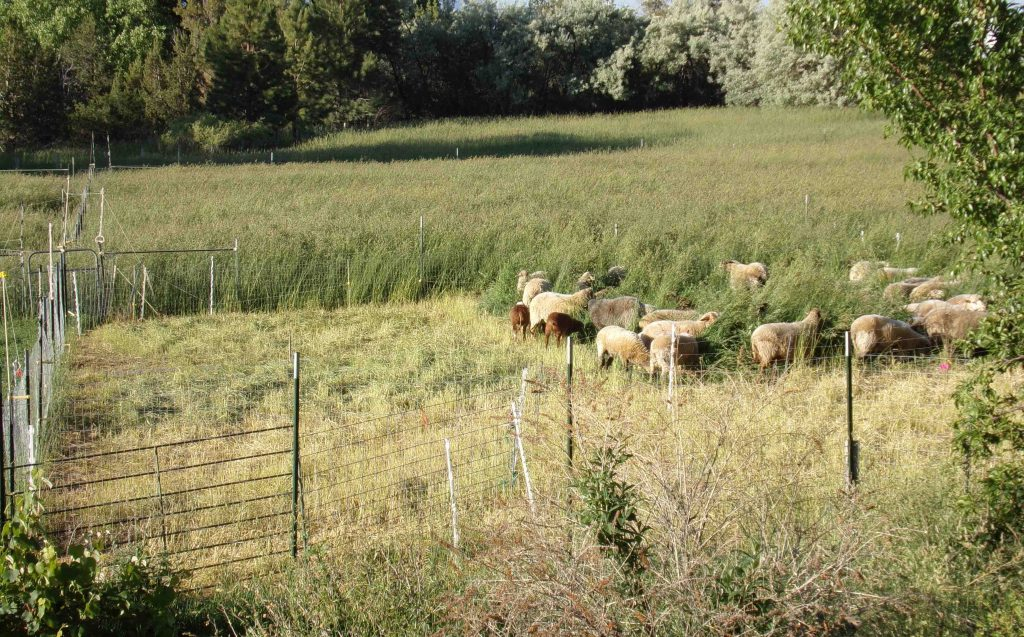 Regenerative grazing at Arriola Sunshine Farm